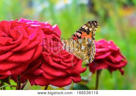 Painted Lady butterfly on a red rose