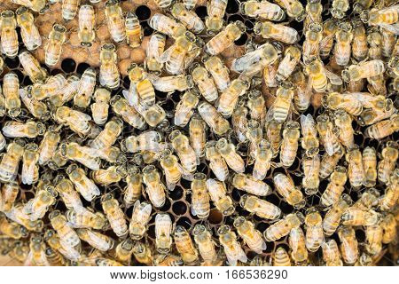 Close up of honeybees on brood comb mainly worker bees with a few drones.