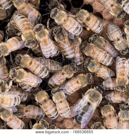 Varroa mit on thorax of Italian worker honey bee in center of image.