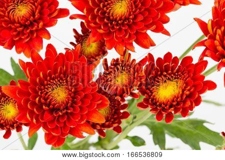 Close up of rusty red chrysanthemum flowers from above