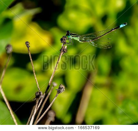 A GREEN DAMSELFLY RAISING ITS BLUE BANDED TAIL WHILE ALIGHTING ON A TWIG