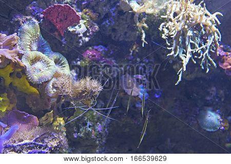 Red sea salt water aquarium with shrimp