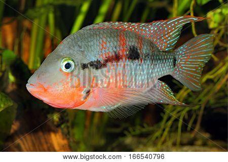 Mexican Fire Mouth (Thorichthys meeki) - male