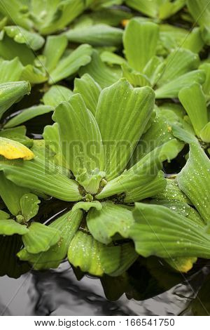 Pistia ( water cabbage, water lettuce, Nile cabbage, or shellflower) - aquatic plant