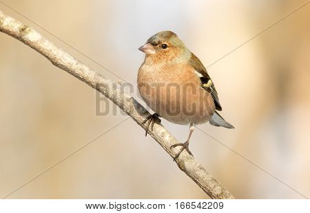 Common Chaffinch (Fringilla coelebs) usually known simply as the chaffinch is a common and widespread small passerine bird in the finch family