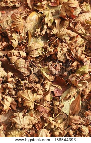 This is a blanket of dried, curled Japanese maple leaves