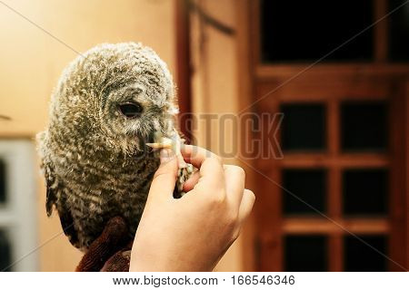 Cute Owl With Grey And Brown Feathers Sitting On Hand And Eating Meat