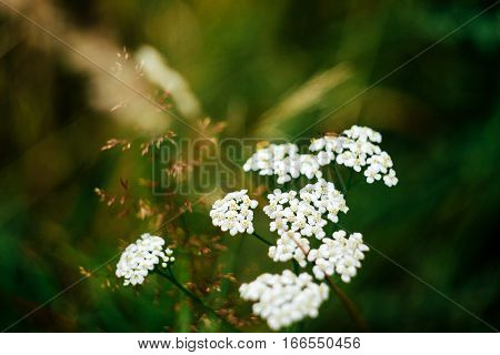 Beautiful White Flowers Of Millefolium In Green Grass Field