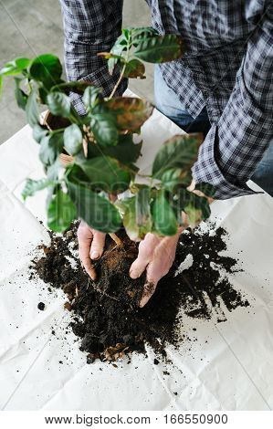 Replanting houseplant. Man's hand softly clean the plant roots from the old soil.