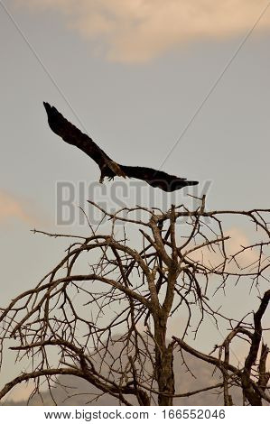 Theft of an abducting eagle in the savanna of West Tsavo Park in Kenya