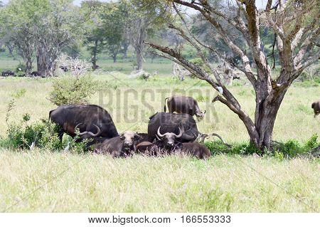 Herd of buffalo in the shade of a tree in the savanna of West Tsavo Park in Kenya