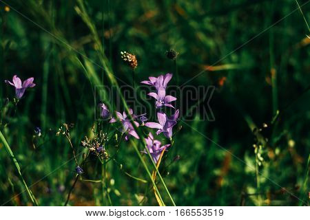 Amazing Beautiful View Of Mountains Bellflowers And Grass In Summer Meadow