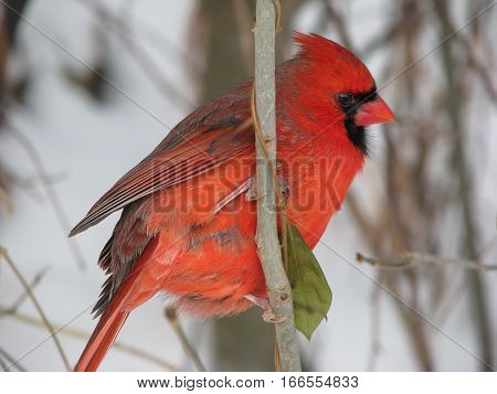 Male red cardinal on branch facing right