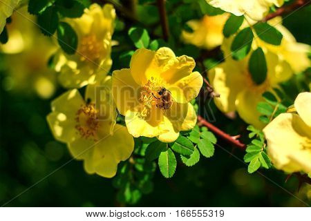 A bee gathers nectar from yellow flowers. The summer blooming beautiful flowers. Macro image of a bee on a flower