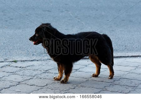 Homeless dog with dark fur. Street a stray dog.
