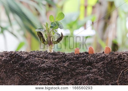 Seedlings of peanut on soil in the Vegetable garden concept of agriculture and growing design.