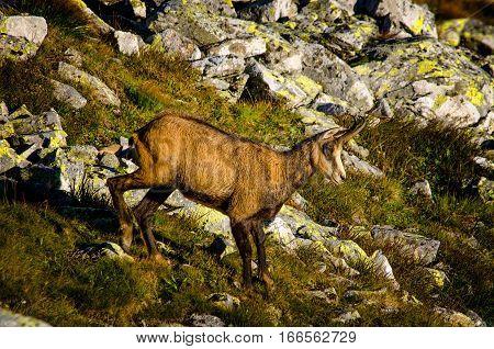 Single chamois running in Tatra mountains rocks Poland