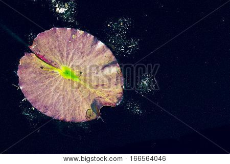 Purple and Green Lily Pad in Dark Water