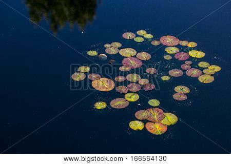 Collection of Lily pads in Dark Water with Trees Reflected