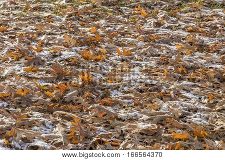 Fallen autumn oak leaves covering the ground under a light dusting of early winter snow