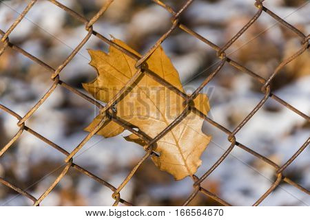 Closeup of orange autumn oak leaf stuck to a rusty chainlink fence with snowy background
