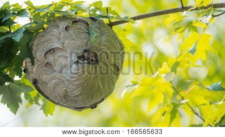 Large nest of wasps hangs overhead on a tree branch.  Hazardous insects seem to keep to themselves as they build their nest in springtime.