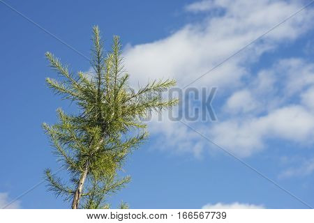 Top branch of pine tree reaching skyward