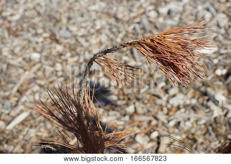 Dead brown pine needle branch windswept against woodchip background.