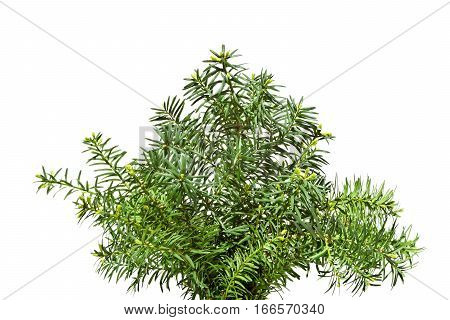 Yew  twigs with young buds Isolated on white background