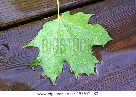 Green maple leaf fallen on wooden deck into rain puddle spring