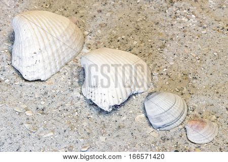Four clam shells lined up from big to small on warm tropical sandy beach
