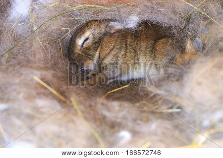 Cute Sleeping Bunny In The Nest With Her Mother's Hair