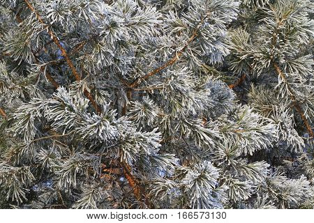 Texture Of Pine Needles That Covered With Frost