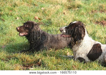 Pretty Working Type Spaniel Gundogs Lying On Grass Together