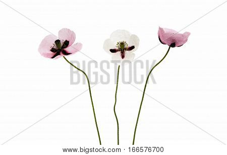 poppy blooming flowers on a white background