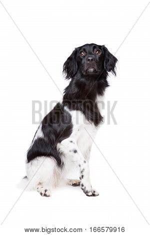 Friese Stabij, Frisian Pointer