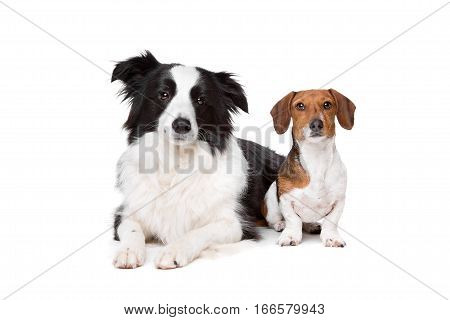 Border Collie And A Dachshund Piebald