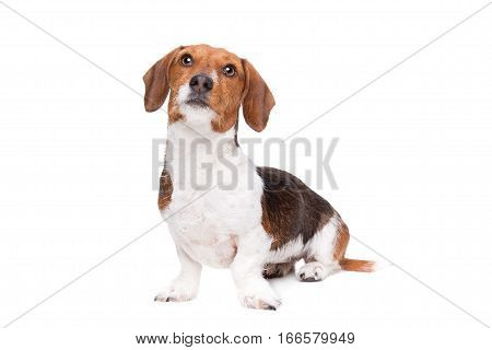 Dachshund Piebald Dog