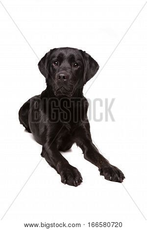 dog in front of a white background