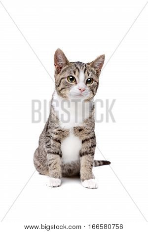 Front View Of A Sitting Cat