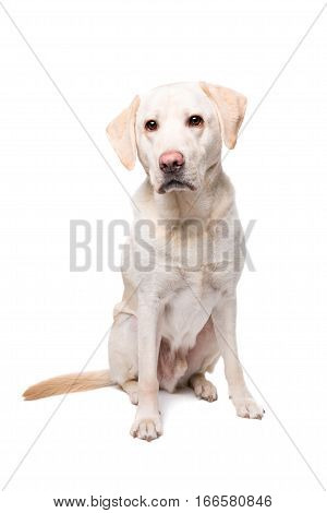 Young Labrador Dog