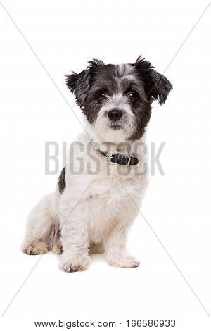 Small White And Grey Haired Dog