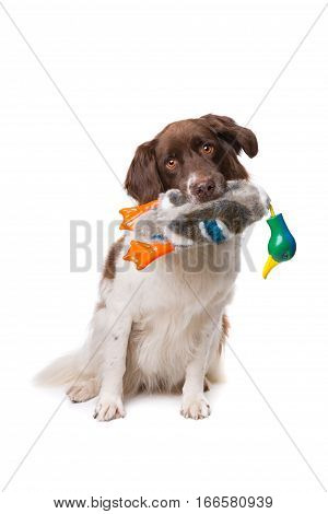 Dutch Partrige Dog