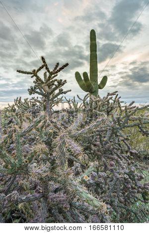 Saguaro and Buckhorn Cholla cacti stand against setting sun near Tucson Arizona