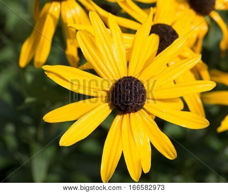 Black Eyed Susans in close up with glistening petals
