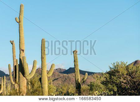 Rare Crested saguaro cactus plant in National Park West near Tucson Arizona