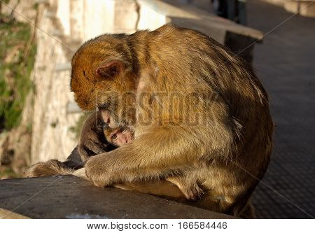 Cuddling barbary macaque ape mother with her baby in Gibraltar