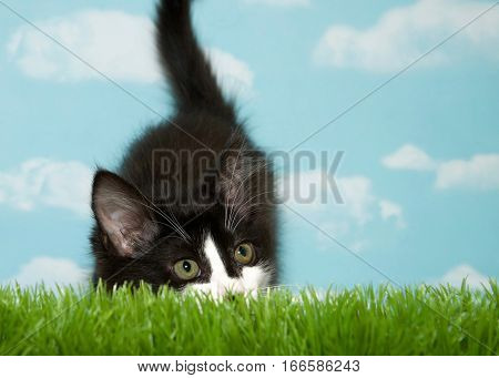 Black and white medium hair kitten crouched in long grass blue background sky with clouds. Copy Space