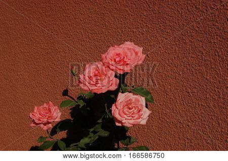 a beautiful flowers and the coral roses