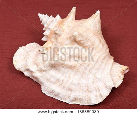 Large pink queen conch seashell on red fabric background